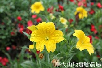 Photo: 拍攝地點: 梅峰-溫帶花卉區 拍攝植物: 美人襟 拍攝日期:2012_10_30_FY
