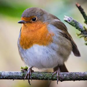 Friendly Robin.jpg