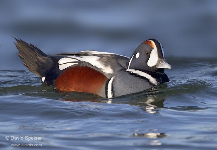 Harlequin Duck © David Speiser