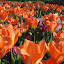 beauty of the tulips by Anne Mangen - Nature Up Close Flowers - 2011-2013 (  )