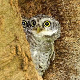 by S Balaji - Animals Birds ( spotted owlets, animals, birds )