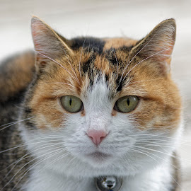 by Luc Raymond - Animals - Cats Portraits