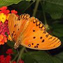 Borboleta-do-maracujá (passionflower butterfly)