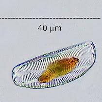 Epilithic Diatoms of Western Pennsylvania
