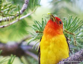 Photo: Closeup of beetle and small grub being carried by adult male Western Tanager, Trout Creek Swamp, Sisters, OR