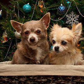 Christmas Chihuahua's by Debbie Quick - Public Holidays Christmas ( chihuahua, debbie quick, dog, christmas, holiday, debs creative images, pet )