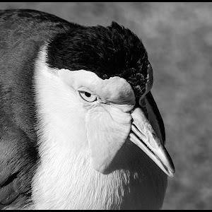 Spur-winged plover-2.jpg