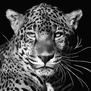 Jag Portrait Black7 45% sharp B&W.JPG