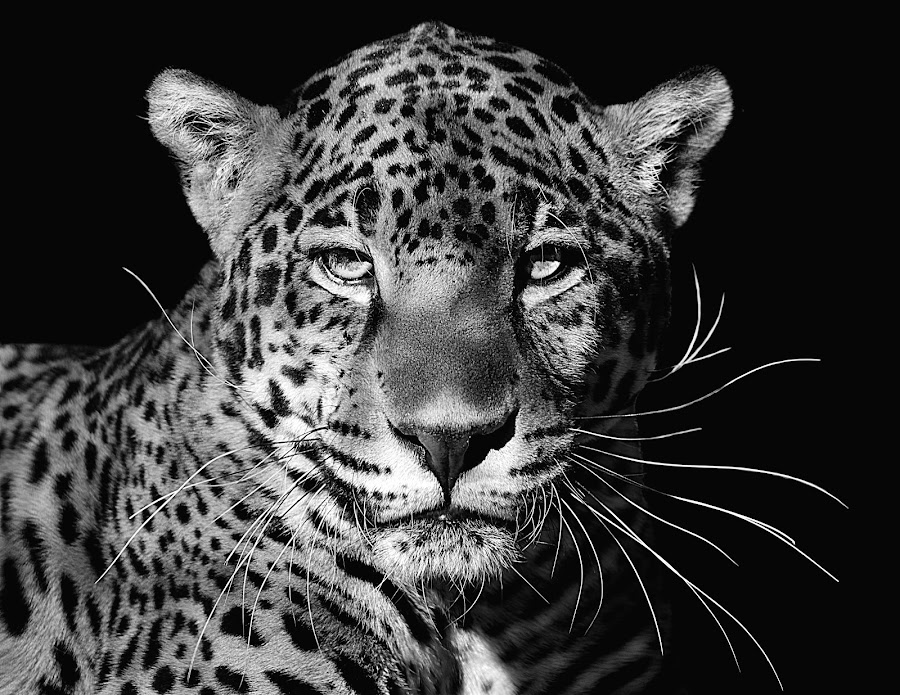 Kitty B&W by Shawn Thomas - Black & White Animals (  )