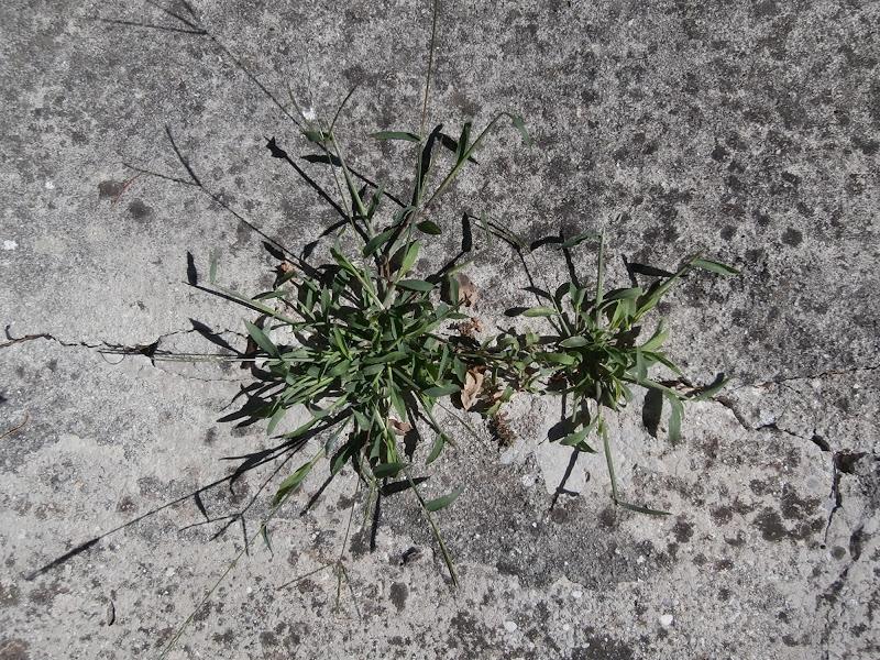l' erba che non crepa mai di Santapaula