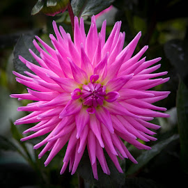 Its Pink by Janet Marsh - Flowers Single Flower ( pink, dahlias )