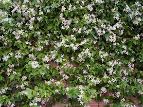 Photo: Jasmim Brilhante ou Holandês ( Trachelospermum jasminoides )