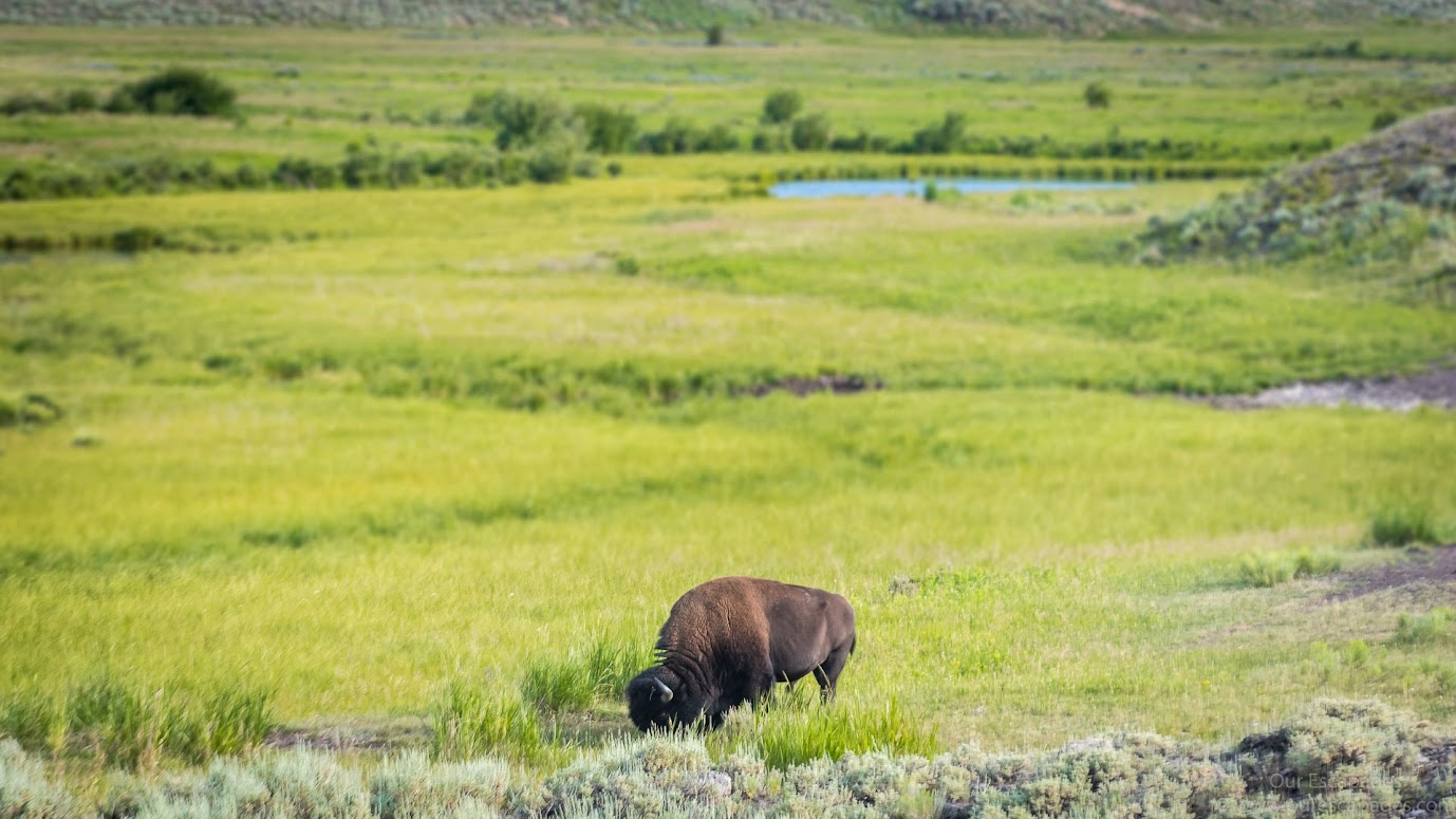 A bison lazily eating its breakfast