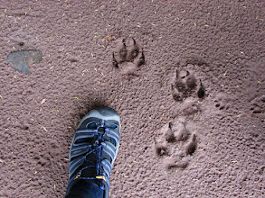 Photo: Tracks from the wolf that turned and ran as soon as he saw me.
