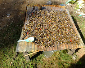 Photo: Snail from the lake are drying with soy sauce and chili peppers