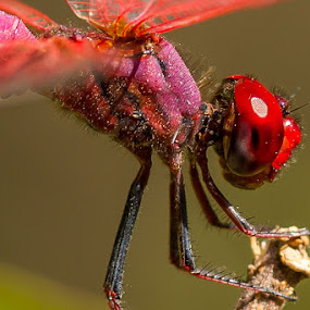 Dragonfly... by Ramakant Sharda - Animals Insects & Spiders ( macro, red, micro, bugs, bug, dragonfly )