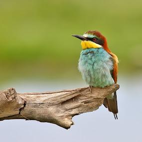 European bee-eater 3 by Simon Kovacic - Animals Birds ( bird · european bee-eater · aves · meropidae · merops apiaster · ·,  )