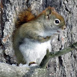 Little Red Squirrel by Patti Hobbs - Animals Other Mammals ( red, squirrel, high, mannal, up )