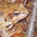 Agile frog