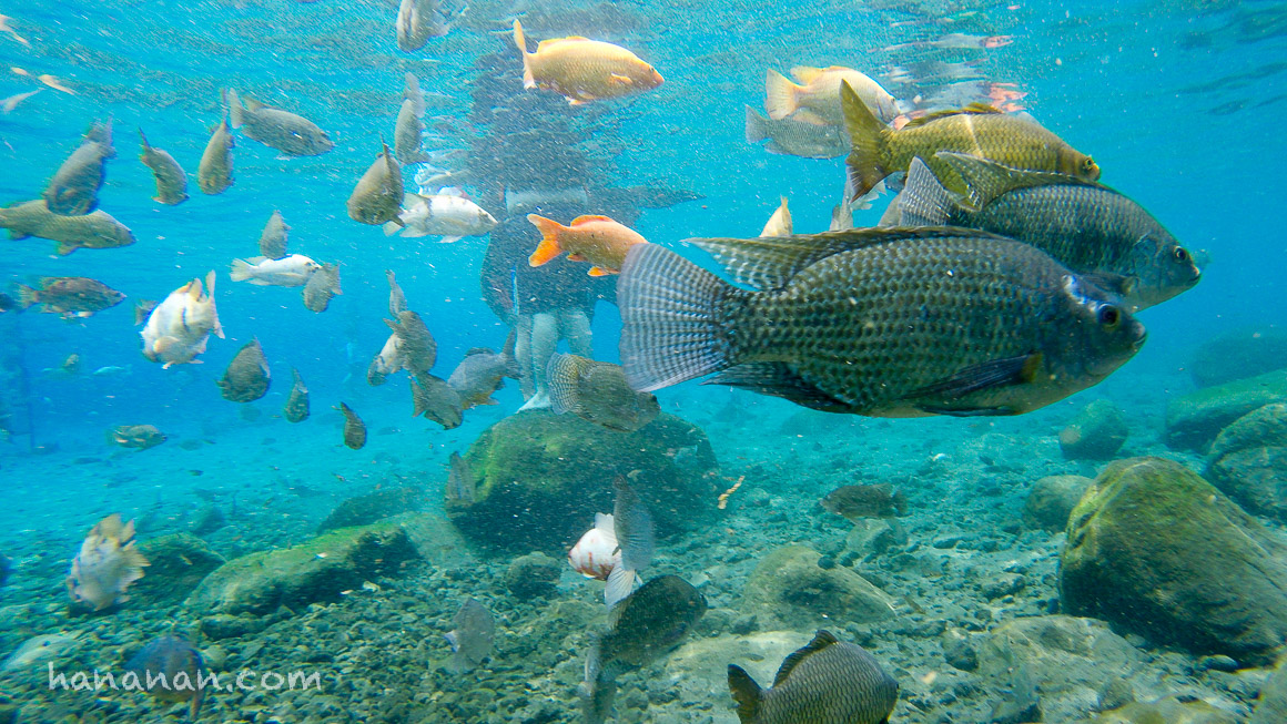 Ikan-ikan yang dibiarkan tumbuh besar-besar dan jinak menjadi salah satu daya tarik di Umbul Ponggok.
