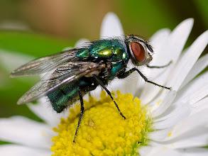 Photo: Blue-bottle Fly on Ox-eye Daisy
