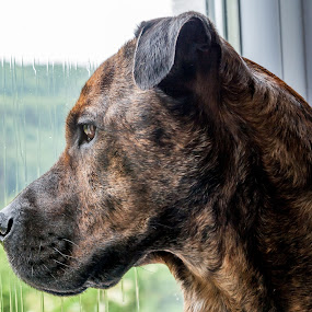 Rainy Day Blues by Lizzy MacGregor Crongeyer - Animals - Dogs Portraits ( potrait, woeful, rainy, sad, boxer, brindle, sharpei, weather, longing, wet, dog, emotion,  )