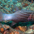 Large-toothed cardinalfish