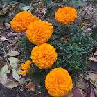 Mexican marigold, Cempasúchil, African marigold.