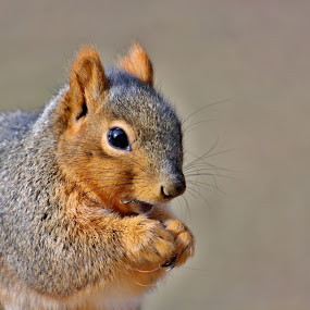 Good Stuff! by Nancy Daugherty - Animals Other Mammals ( squirrels, midwest, wildlife, backyard )