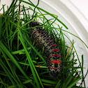 Pine Emperor Moth