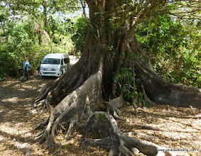 Photo: Giant fig tree at the summit of Tecuitata; this tree was full of birds!