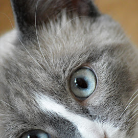 Those Eyes by Guyla Jacobsen - Animals - Cats Portraits