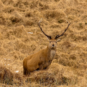 Red Deer Stag by Kenny Routledge - Animals Other Mammals ( new galloway, countryside, scotland, dumfries and galloway, hill side, wildlife, rutting, dumfriesshire, portrait, upright, monarch of the glen, magazine cover, red deer, antlers, galloway forest park, stag, rocks, deer )