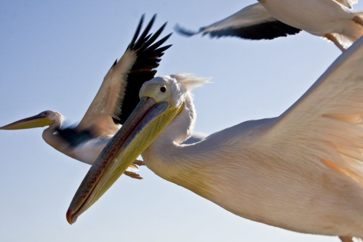 Il volo dei pellicani di RobertaCamilli