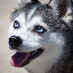Blue Eyes by Tim Davies - Animals - Dogs Portraits ( sweet, blue eyes, husky, dog, klee kai, miniature,  )