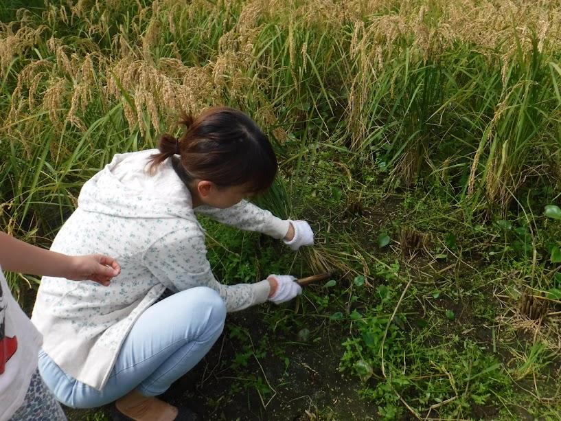 コガネモチの収穫