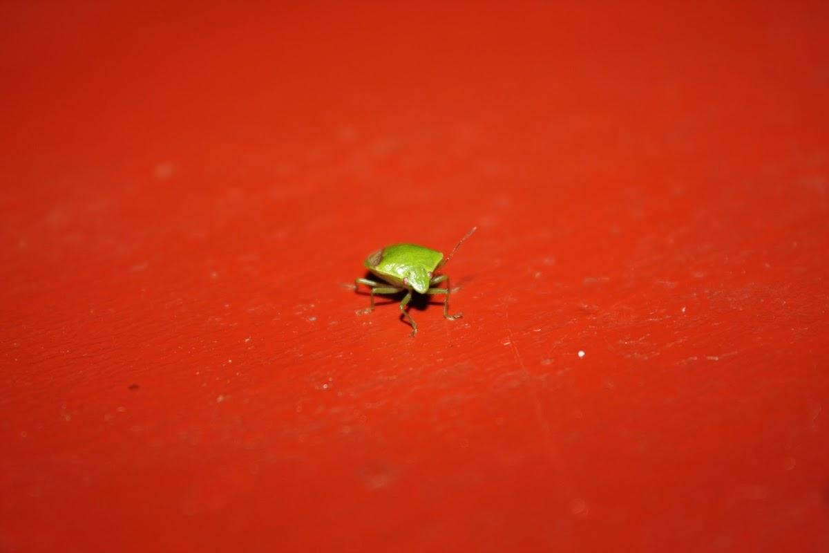 Oriental Stink Bug
