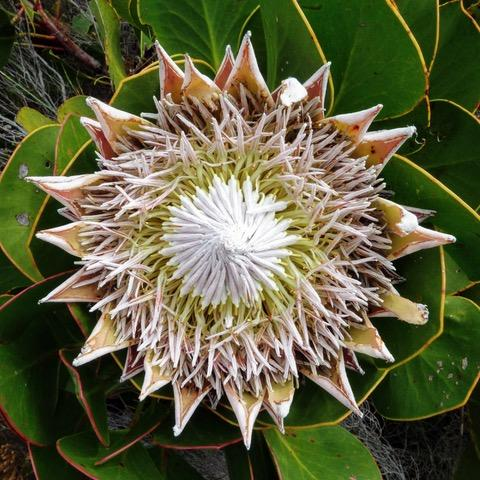 The king protea is at the head of family of about 1,600 species.
