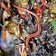 Western Redback Salamander