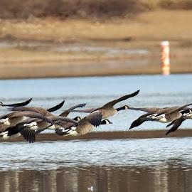 Geese @ Blue Marsh Dam by Jerry Hoffman - Animals Birds (  )