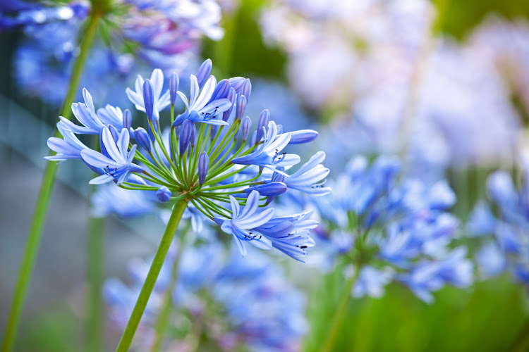 When planning your summer garden, try to add more indigenous plants - like Agapanthus - to help with the low rainfall we have been receiving.