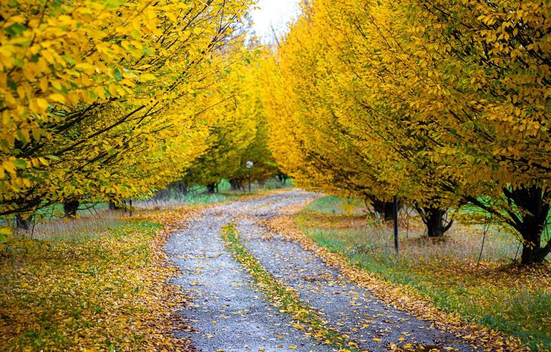 Giallo dell'autunno di Wolly1