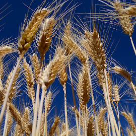 Wheat heads by Denton Thaves - Nature Up Close Leaves & Grasses ( wheat )