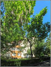 Photo: Arbore trompetă (Catalpa bignonioidea) - de pe Calea Victoriei, Nr: 11,13 - 2017.06.04