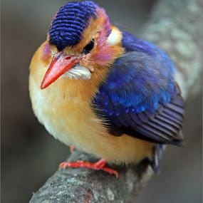 Pygmy kingfisher by Johann Harmse - Animals Birds ( nature, bird, birds, kingfisher, pygmy kingfisher,  )