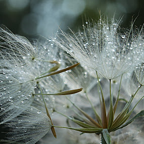 On the wane... by Sonja Cvorovic - Nature Up Close Other plants ( dandelion )