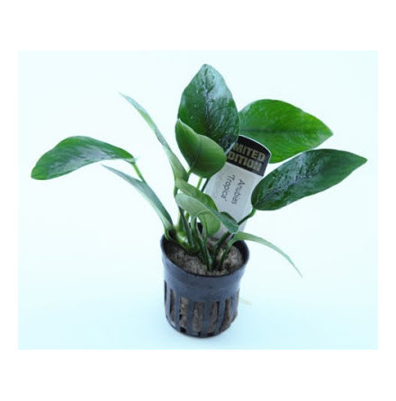 Limited Edition Anubias Tropica