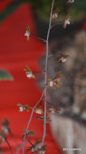 Photo: Oeceoclades roseovariegata blooms, best focus I could get