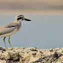 Thick-knee   -   Great Thick-knee