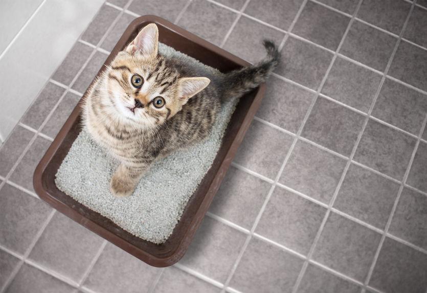 A kitten using a litter box